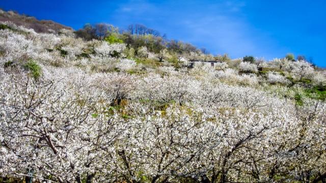 Ein Meer aus Weiß und Rosa: Kirschblüte im Valle del Jerte
