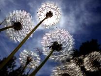 'Pusteblumen'  im Gegenlicht