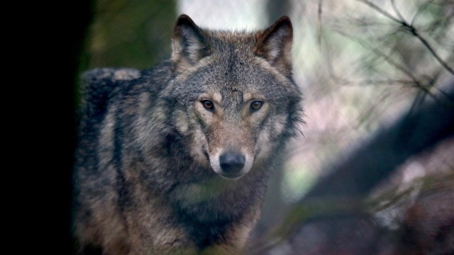 Wild Place Project Welcomes A Pack Of Wolves