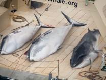 Japanischer Walfang
