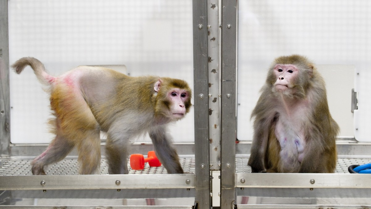 Affen fasten für ein langes Leben
