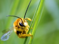 A bee is covered with pollen as it sits on a blade of grass at a lawn in Klosterneubur