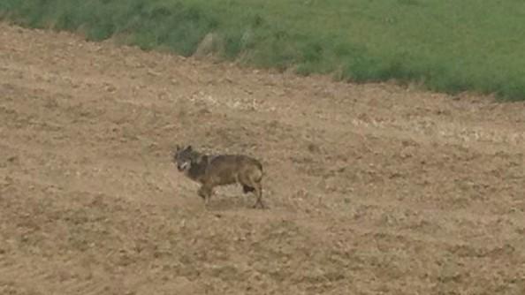Der mutmaßliche Wolf im Kreis Erding.