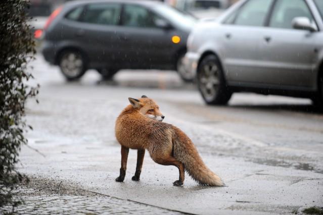 Füchse in der Stadt