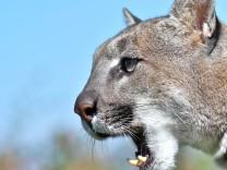 Der Puma ist ein vielseitiger Esser