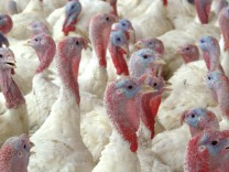 Handout image shows turkeys inside a hatchery at the processing unit of a turkey plant in La Calera city