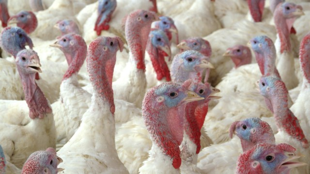 Handout image shows turkeys inside a hatchery at the processing unit of a turkey plant in La Calera city