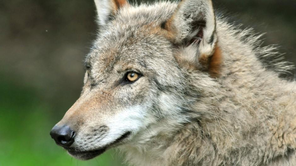 Grünen rechnen mit Rückkehr des Wolfes