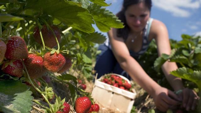 Erdbeerplantage im Freiland