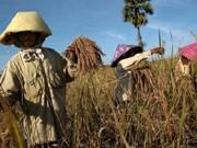 Reisernte Thailand, AFP