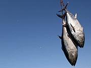 Thunfisch, AFP
