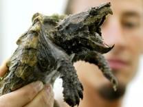 Alligator-Schildkröte.