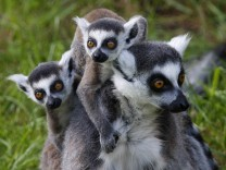 Family of Ring-tailed Lemur Cattas is seen at Olmense zoo in Olmen