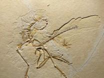 Studie untersucht Federkleid von Urvogel