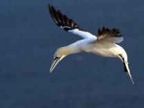 Basstölpel Seevögel China Delikatesse Illegaler Fang