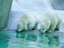Eisbärenbabys erkunden Felsenanlage im Münchner Tierpark Hellabrunn, 2014