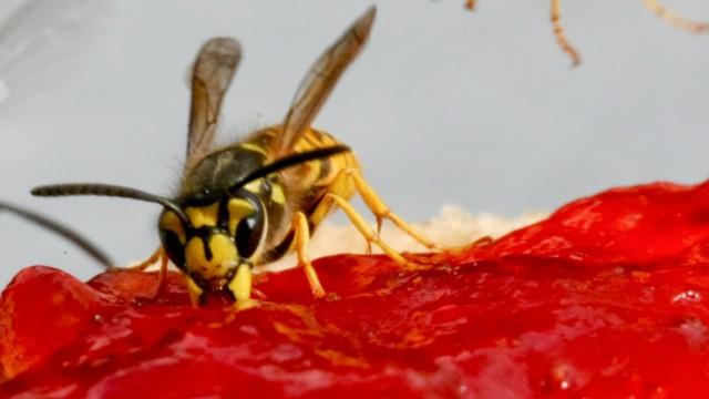 Wespen auf Marmeladenbrötchen