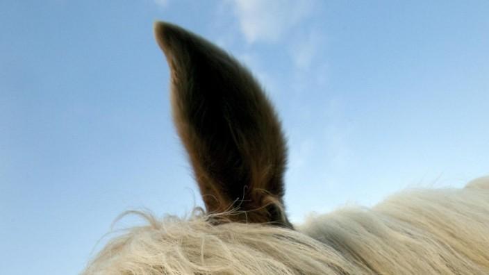 Ohrenhaltung beeinflusst Futterwahl von Pferden