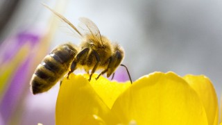 Biene auf Krokusblüte