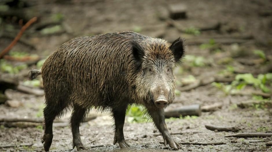 Die Stadt lockt mit Futter - Wildschweine zu Besuch im Vorgarten