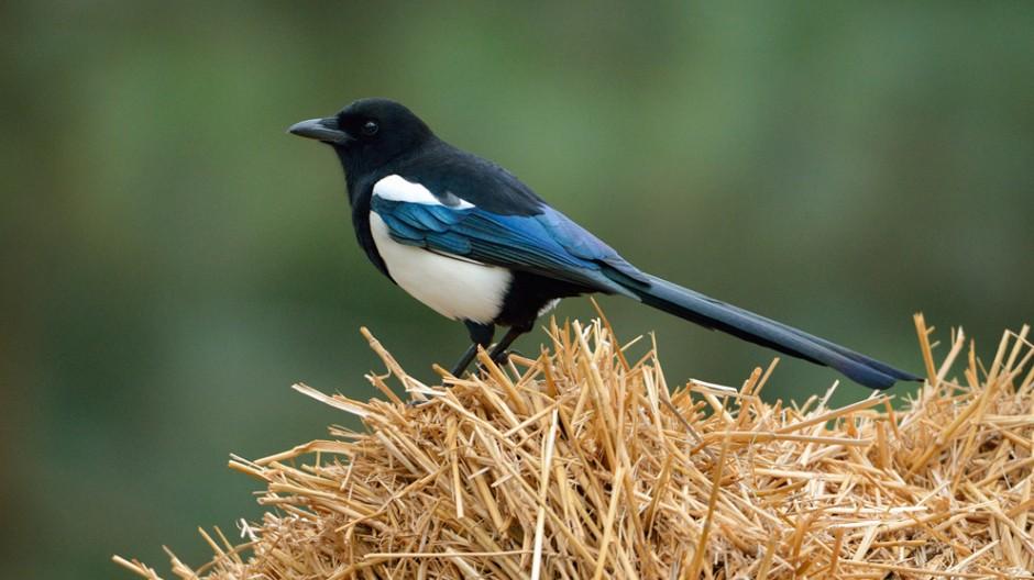 Vögel Diebstahl-Vorwurf