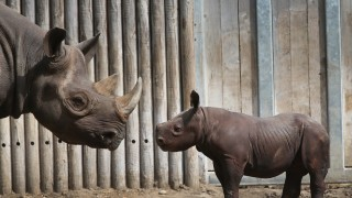 Chicago's Lincoln Park Zoo Host Preview Of Baby Rhinoceros