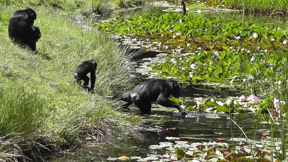 Schimpansen am Wasser