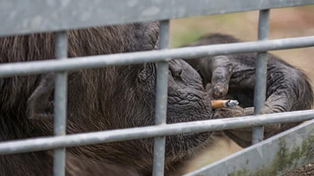 """Rauchender Schimpanse im """"Schwabenpark"""" Welzheim"""