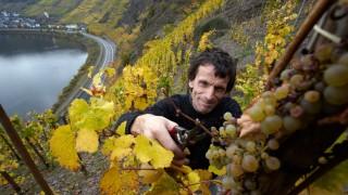 Weinlese am steilsten Weinberg Europas