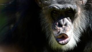 7konflikte Unter Affen Schimpansen Sind Geborene Killer Wissen
