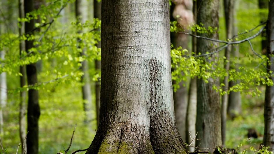 Buchen im Grumsiner Forst