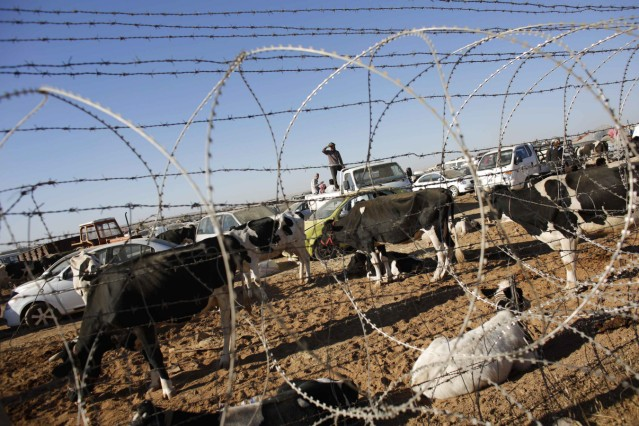 Syrian Kurds with their livestock wait behind a border fence near the southeastern town of Suruc in Sanliurfa province