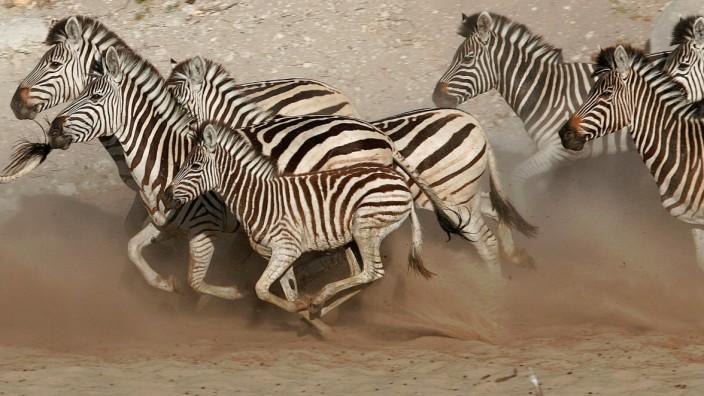 Safari: Zebras in Botswana