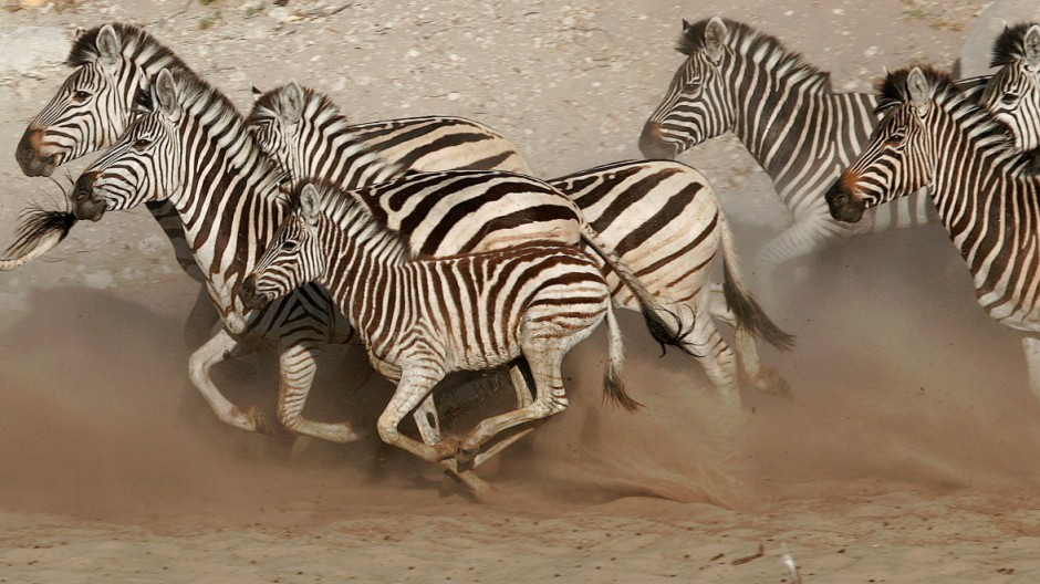 Safari: Zebras in Botswana