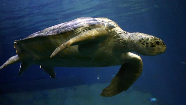 WWF: Kurze Atempause beim Artensterben - Grüne Meeresschildkröten