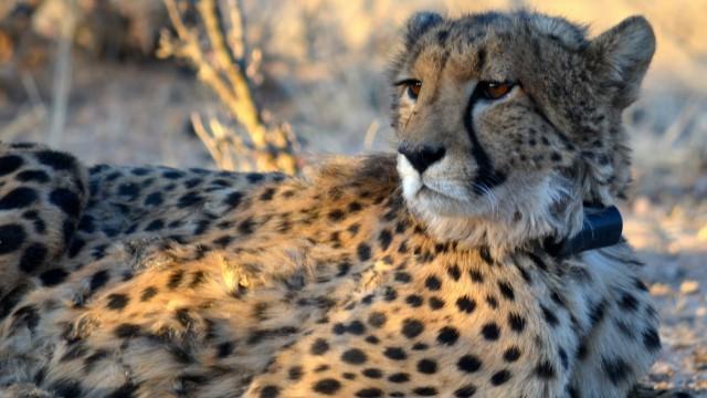 Geparden-Forschung