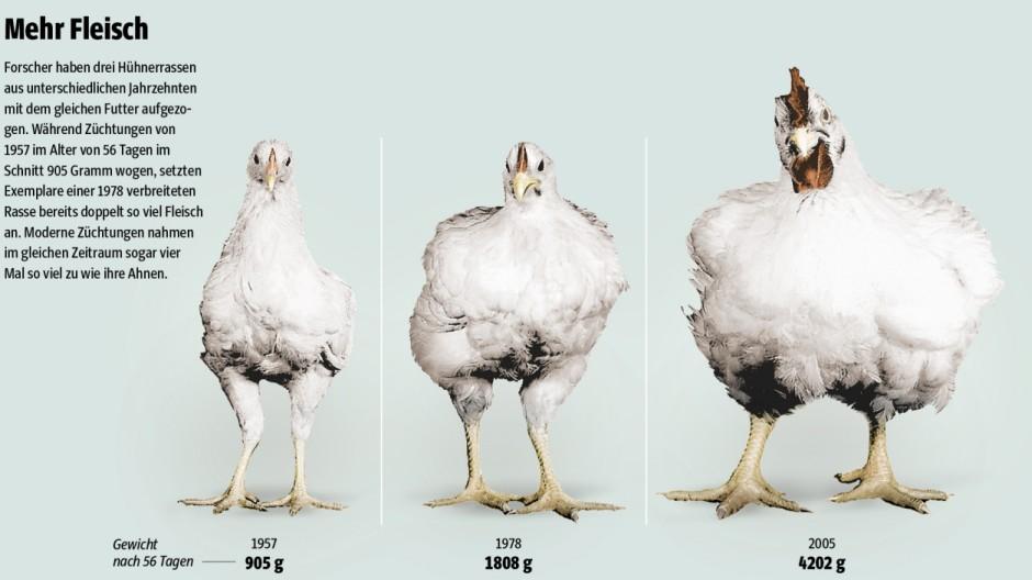 Tierzucht Geflügel-Produktion