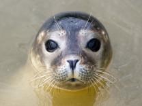 Seehundsterben an der Nordsee
