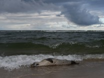 Seehundsterben auf Sylt