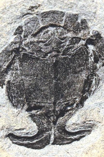 Evolution 400 Millionen Jahre alte Plattenhäuter