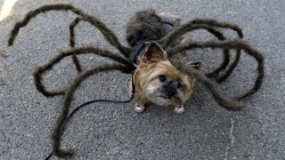 Hund an Halloween in New York