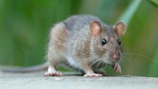 Seuchenschutz Die Ratten Kommen Gesundheit Suddeutsche De