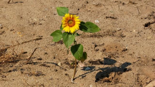 Dürre in Deutschland - ausgetrockneter Boden in Brandenburg