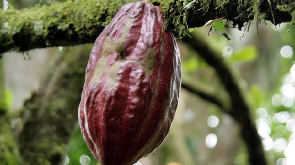 Virus bedroht Kakao-Ernte in Westafrika