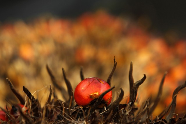 An oil palm fruit is seen at PT Perkebunan Nusantara VIII, a state-owned palm oil factory in Malingping