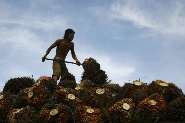 File picture of a worker unloading palm fruits at a local palm oil factory in Serdang Bedagai