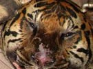 Tiger im Kühlschrank (Bild)
