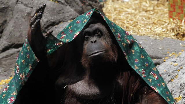 File photo of an orangutan named Sandra, covered with a blanket, inside its cage at Buenos Aires' Zoo