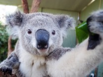 Koala selfie at Wild Life Sydney Zoo