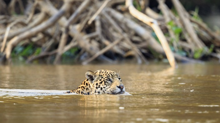 Jaguar in Brasilien